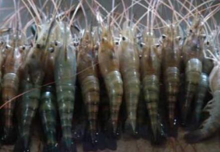 2020年罗氏沼虾价格要多少钱一斤?