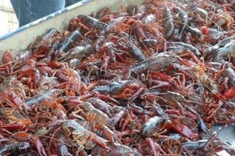 昂贵小龙虾苗和暴增养殖面积对小龙虾上市价