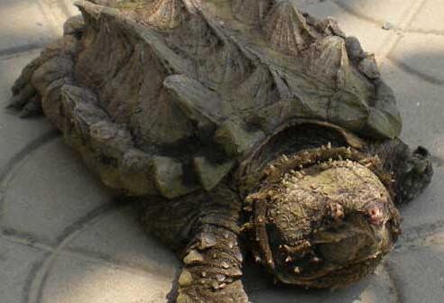 鳄鱼龟养殖密度多少合适?