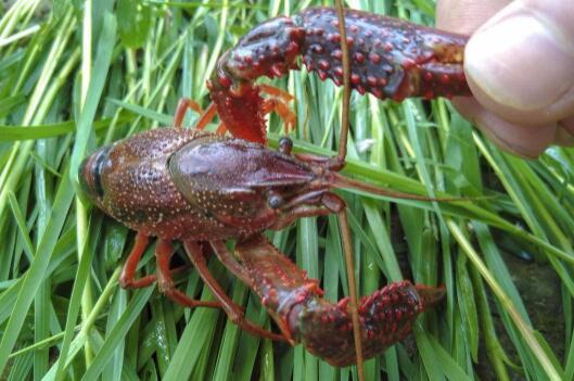 2019年怎么养殖小龙虾才可以赚到钱?