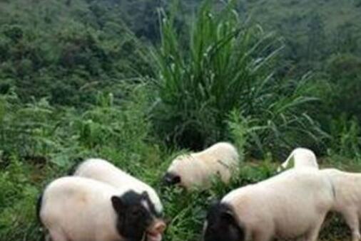 养一只巴马香猪60斤一般要养多久?