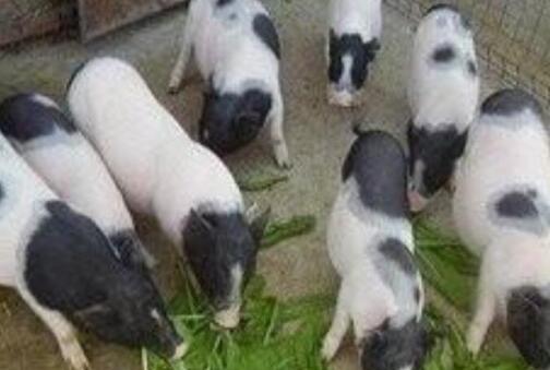 香猪一般适合什么地方养殖?