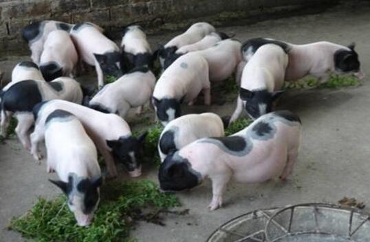 香猪怎么肥肉多是怎么回事?