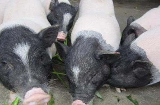现在市场香猪肉多少钱一斤?
