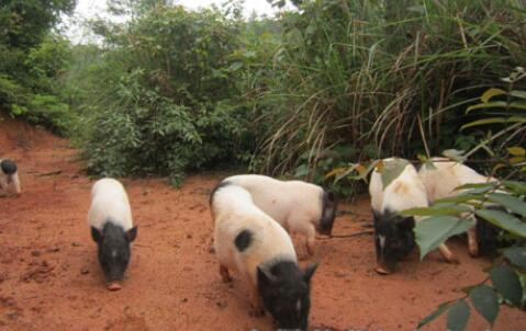 2019年香猪要多少钱一只?