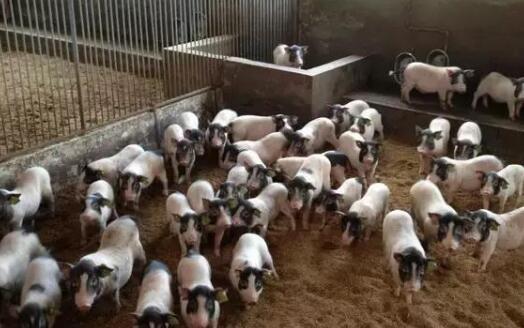 养10头香猪一年能赚多少钱?