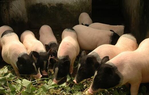 现在养二十头香猪成本利润分别多少?