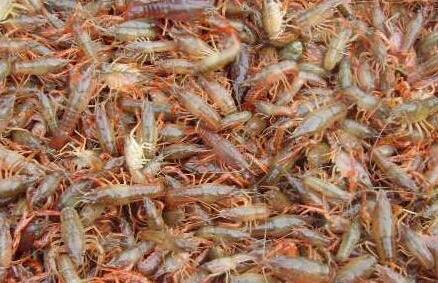 19年小龙虾虾苗价格多少钱