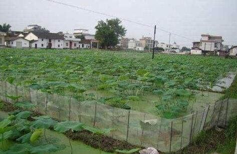 莲藕田小龙虾的养殖技术技巧有哪些?