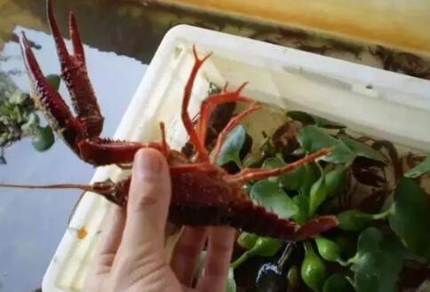 室内工厂化小龙虾高密度养殖技术(实验阶段