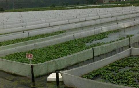网箱无土泥鳅要怎么养殖可靠吗?