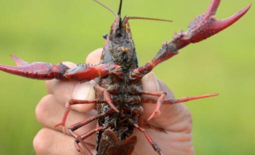 小龙虾吃浮游动物吗?