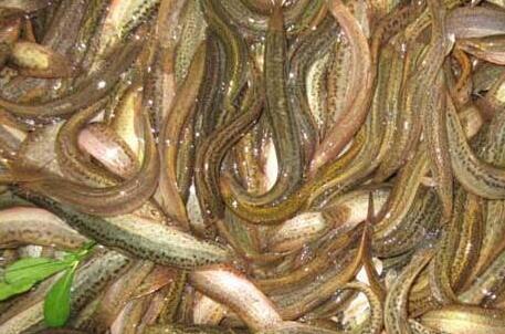 无土泥鳅养殖准备工作有哪些?