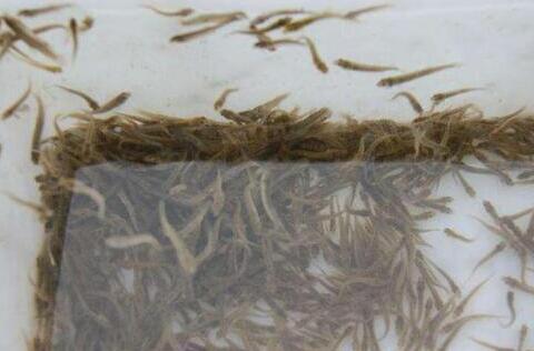 泥鳅的无土养殖密度多少合适?