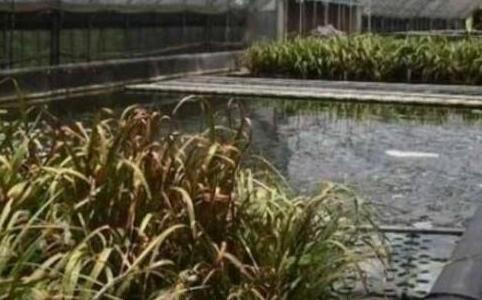 大棚泥鳅养殖周期一般是多少?