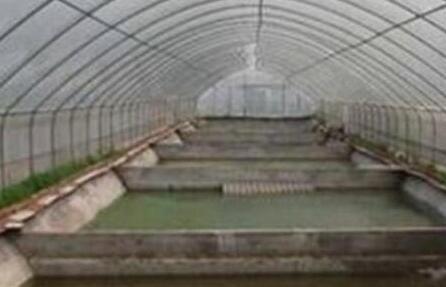 温室大棚应该如何养殖泥鳅好?