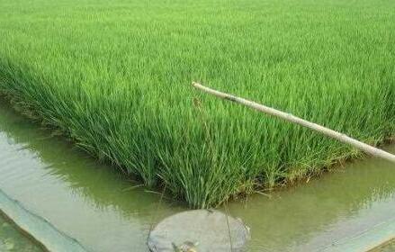 稻田怎么养殖泥鳅?