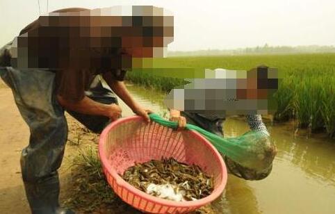 稻田养泥鳅要怎么捕捉?