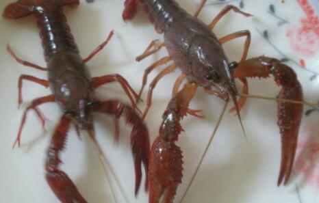 龙虾适合什么样的ph值?