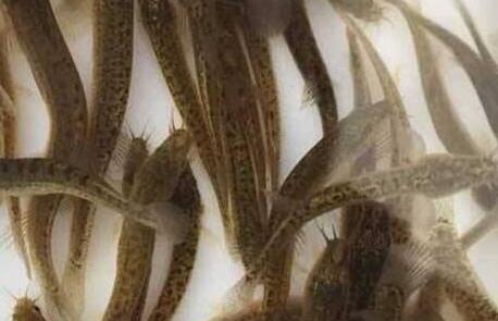 台湾泥鳅苗价格要多少钱?