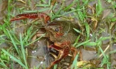 龙虾离开水可以活多久?
