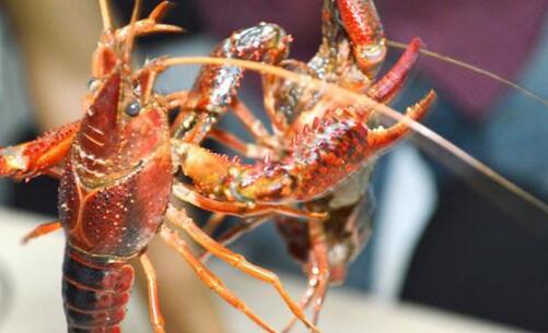龙虾上午什么时间投喂?