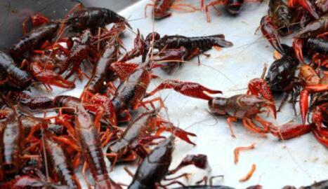 小龙虾养殖每亩利润大概有多少?