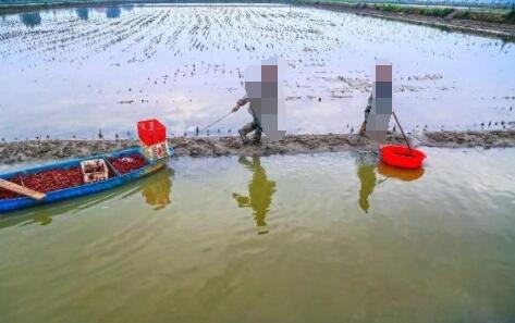 小龙虾稻田怎么养殖?