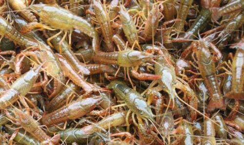 小龙虾苗要怎么放成活率才高?