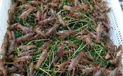 养殖小龙虾每年都要放苗吗?