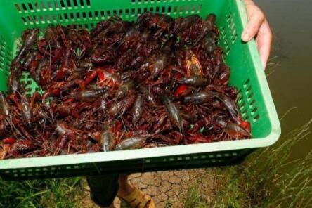 现在养龙虾要多少钱?