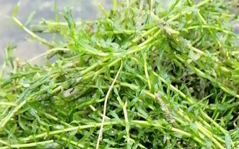 伊乐藻龙虾会不会吃它?