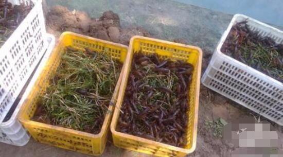 龙虾对稻秧有害吗?