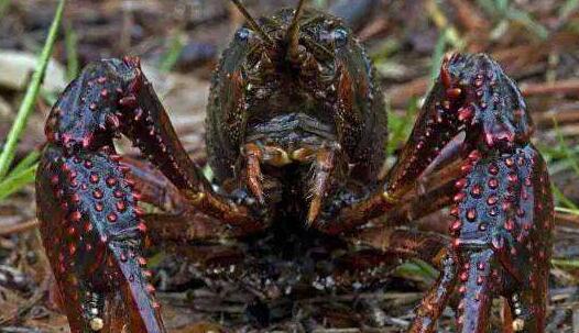小龙虾养殖投喂饲料要多少合