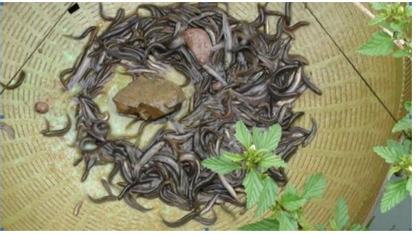投资养殖泥鳅要多少钱?