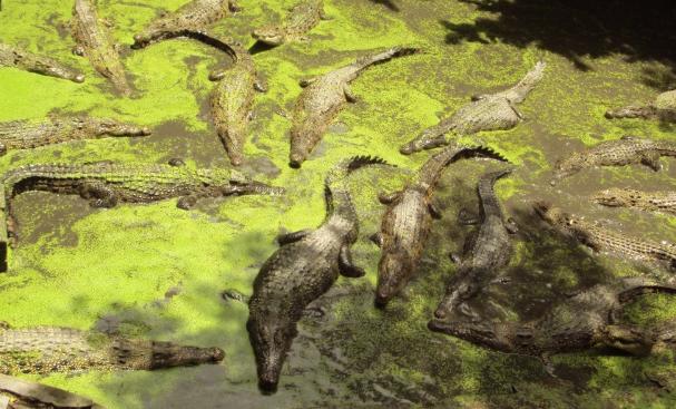 养殖鳄鱼需要哪些技术呢?