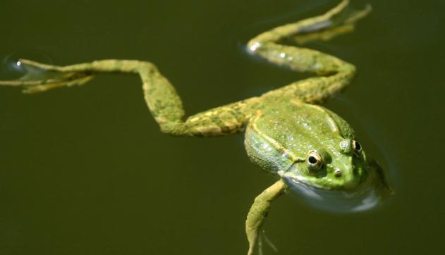 野生青蛙还有吗?