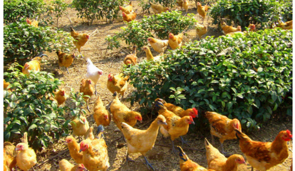 现在养鸡场利润有多少?