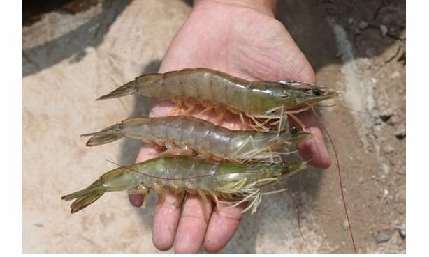 养殖南美白对虾成活率高吗?