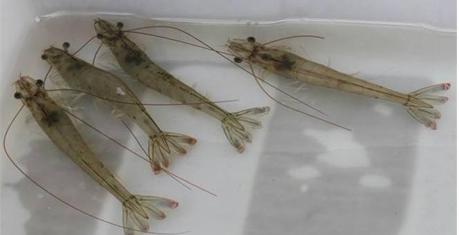 养殖一批对虾利润高吗?