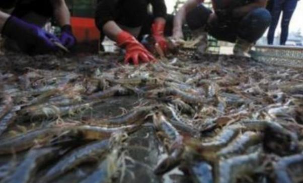 养殖基围虾需要防范哪些病虫疾病?