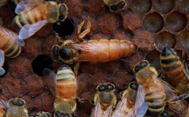 蜂王死了蜜蜂会怎么样呢?