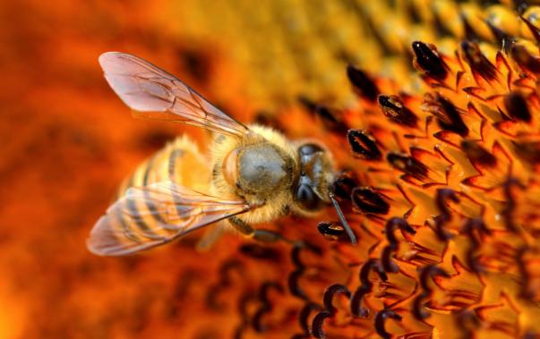蜜蜂怎么养才长得快呢?