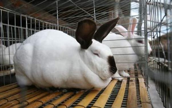 养殖兔子死前有什么征兆呢?