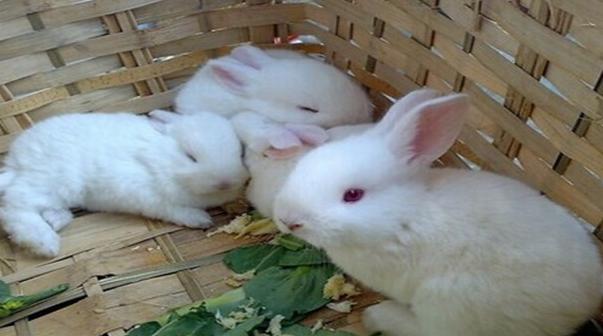 养殖户养兔子有哪些禁忌呢?