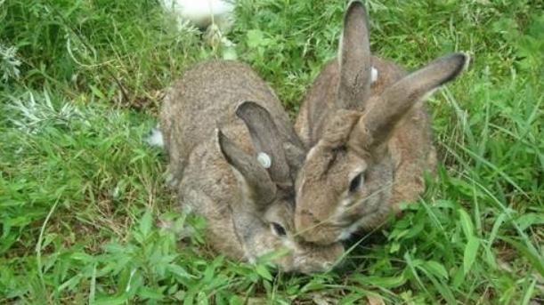 养殖兔子喂养有哪些技巧,需要注意哪些禁忌 ?