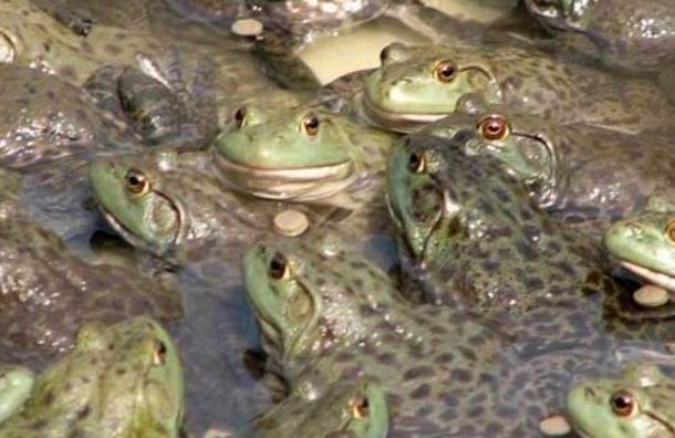 牛蛙的营养价值和食用禁忌都有哪些?