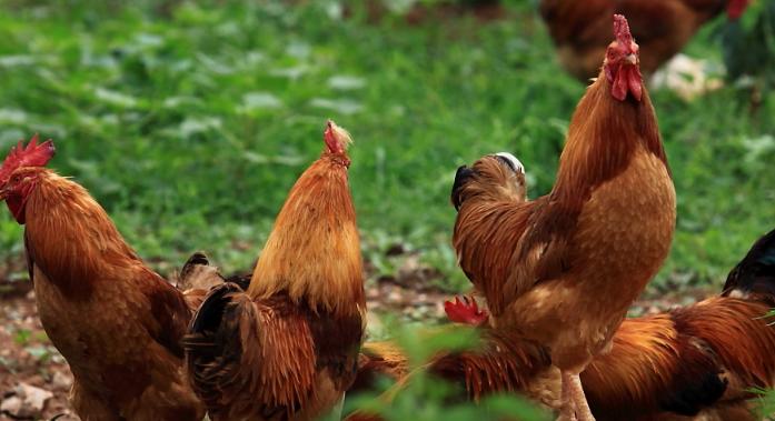 散养3000只鸡的利润有多少呢?