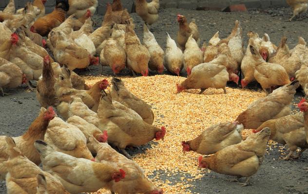 新手第一次养鸡怎么才能打开销路呢?