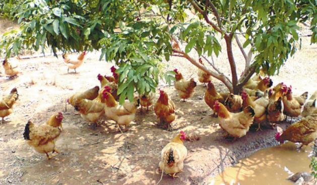 养了500只鸡利润有多少呢?